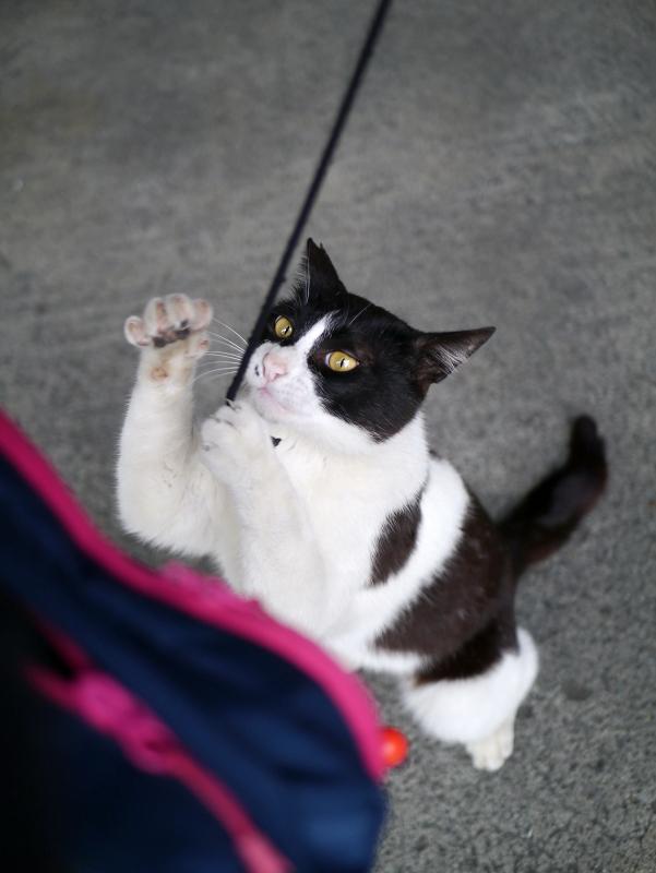 ブラブラゴム紐と黒白猫4