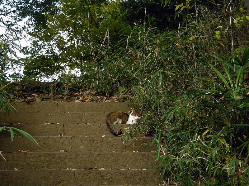 古階段とキジ白猫1