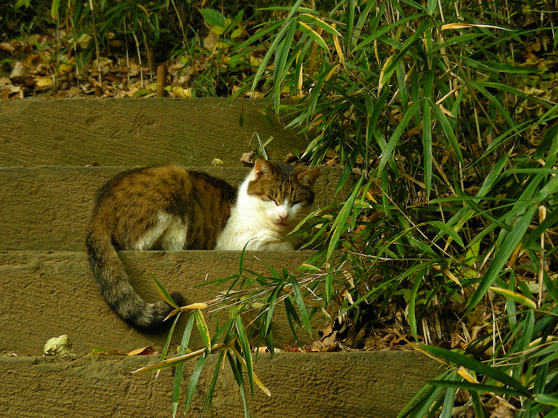 古階段とキジ白猫2