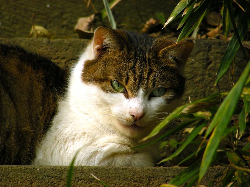 古階段とキジ白猫3