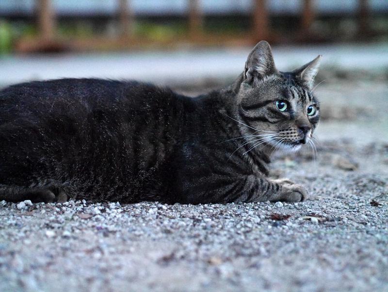 夕暮れの大寺の境内と猫3