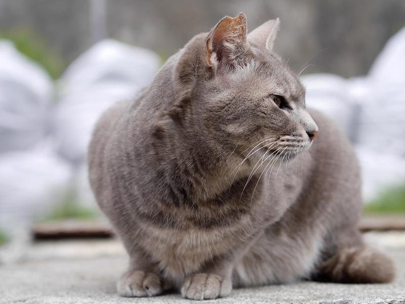 イケメン風な猫の横顔1