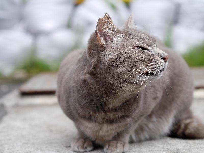 イケメン風な猫の横顔2