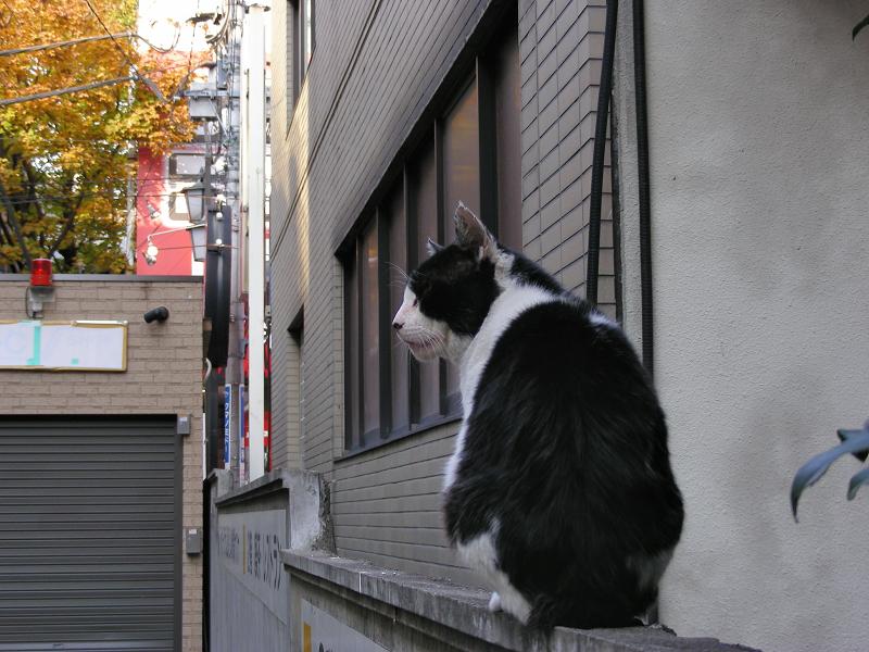 ブロック塀の黒白猫の顔柄1