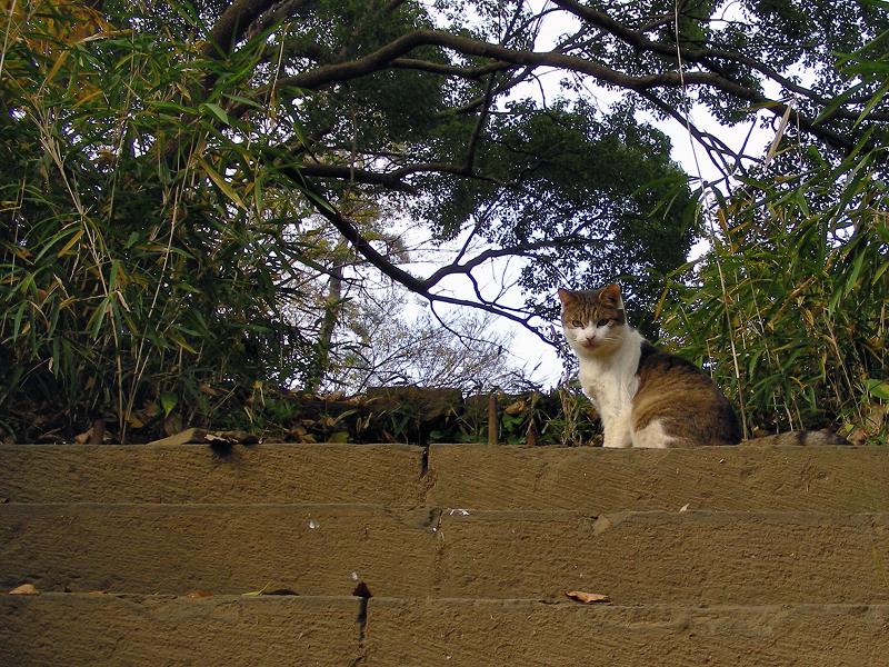 木の階段とキジ白猫1