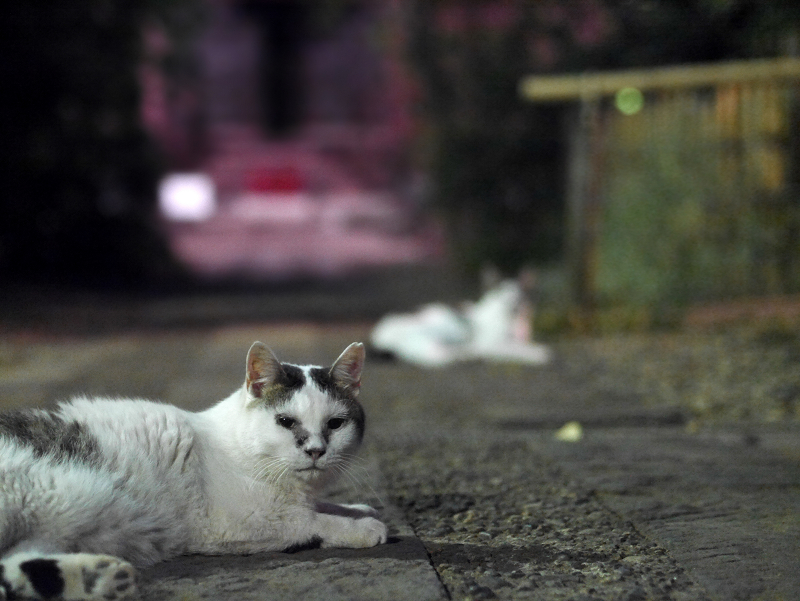 夕暮れの参道と2匹の白キジ猫