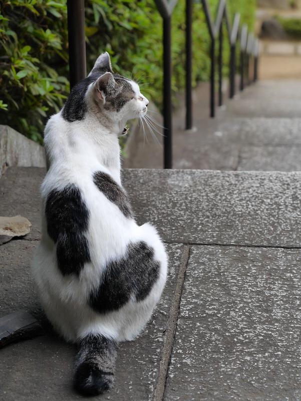 階段でアクビする白キジ猫2