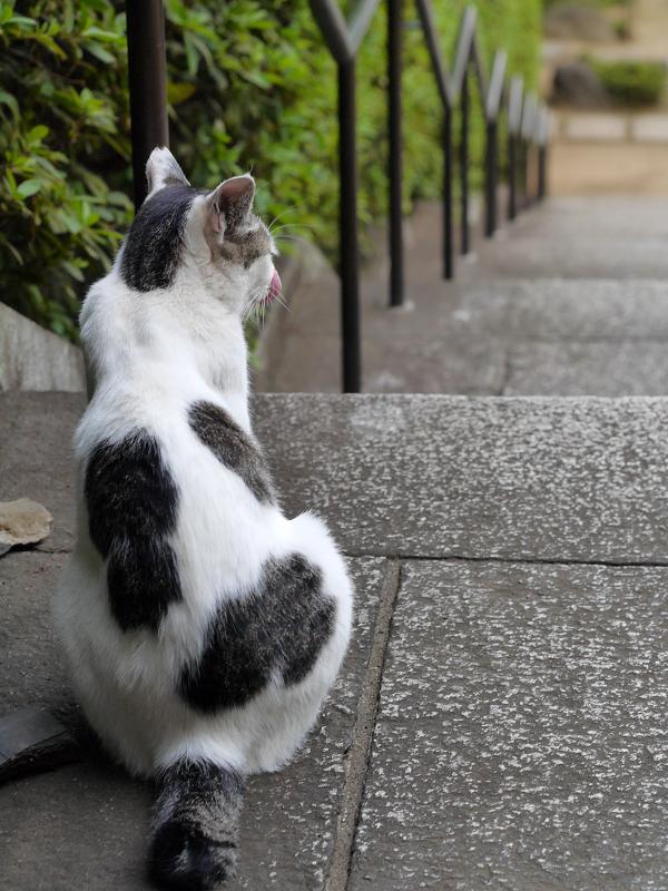 階段でアクビする白キジ猫3