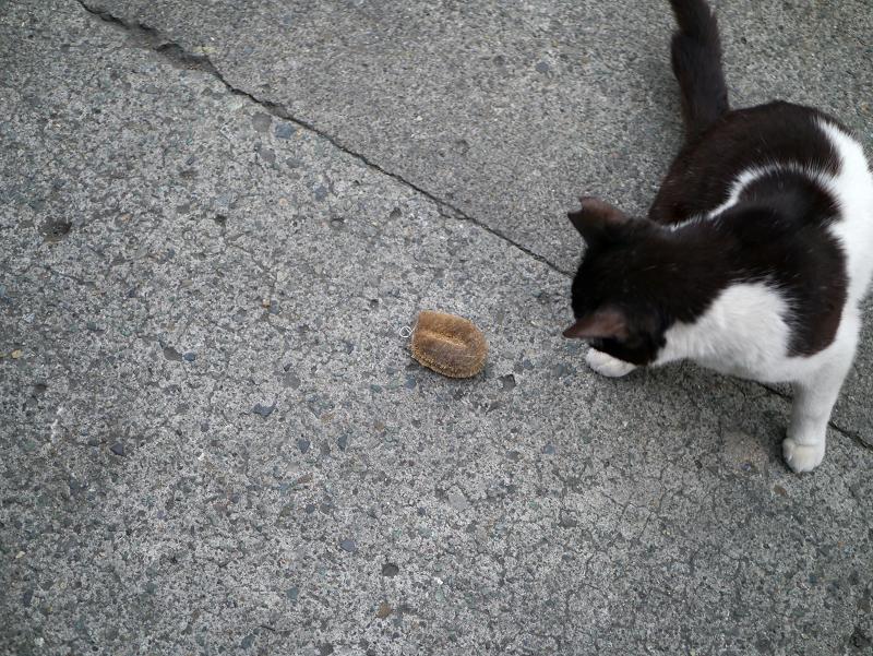 タワシにパンチする黒白猫1