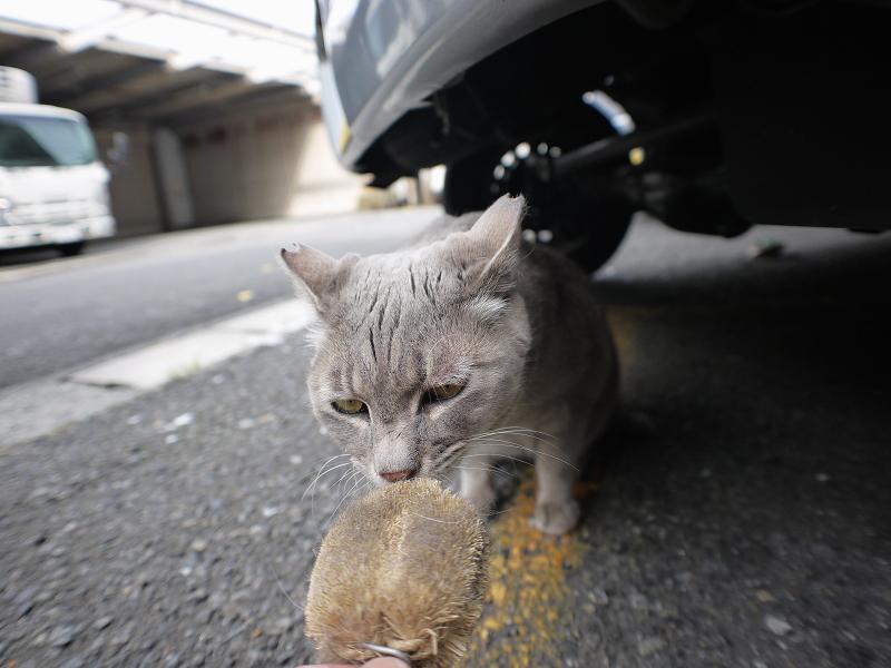 タワシの匂いを嗅ぐイケメン風な猫1