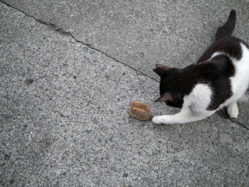 タワシにパンチする黒白猫2