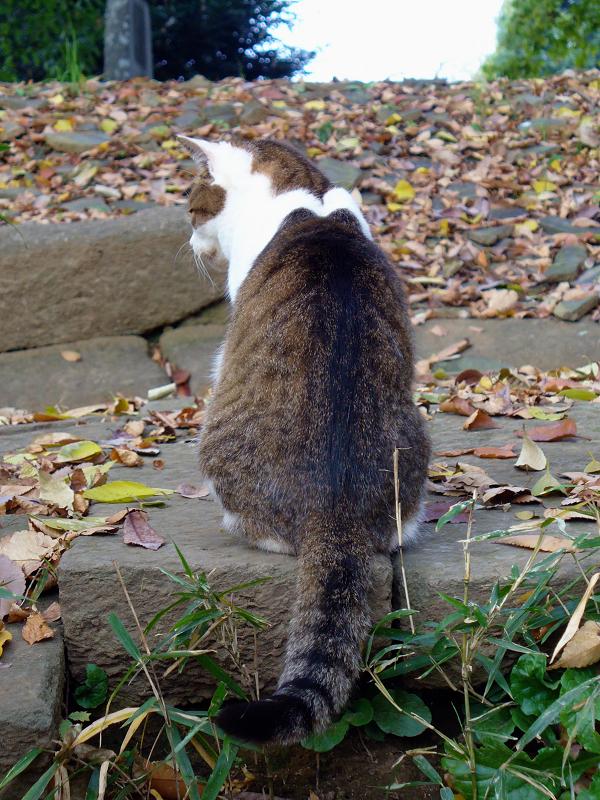 階段の先のキジ白猫1