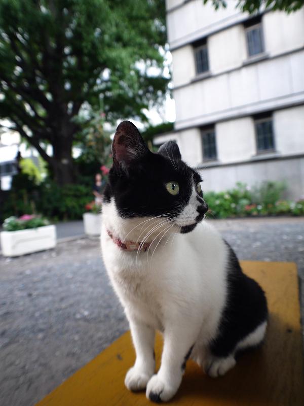 黄色いベンチと白黒猫1