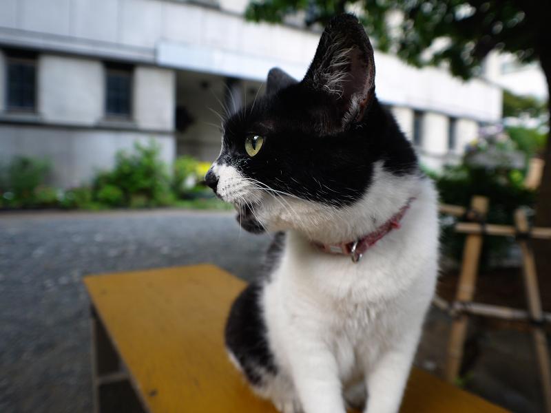 黄色いベンチと白黒猫2