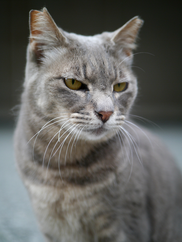 不愉快顔のグレー猫1
