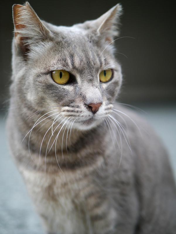 不愉快顔のグレー猫2