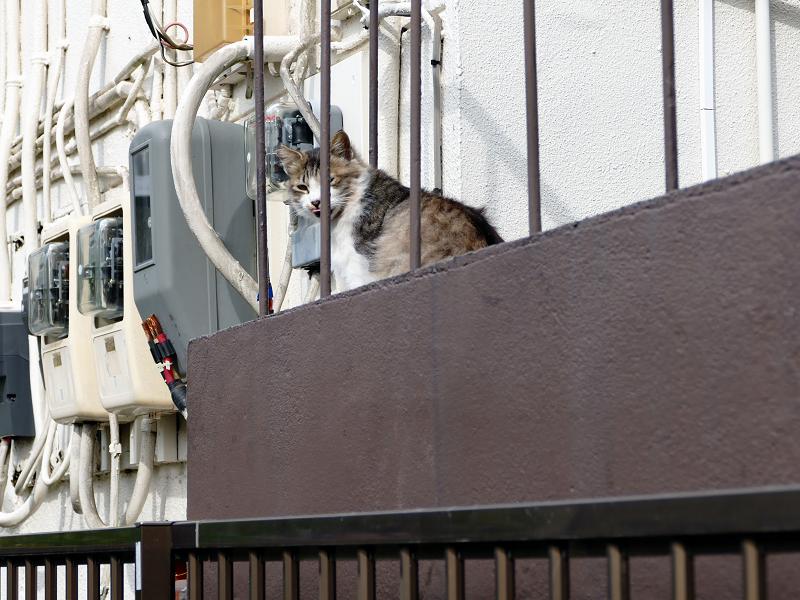 踊り場の毛長三毛風な猫2