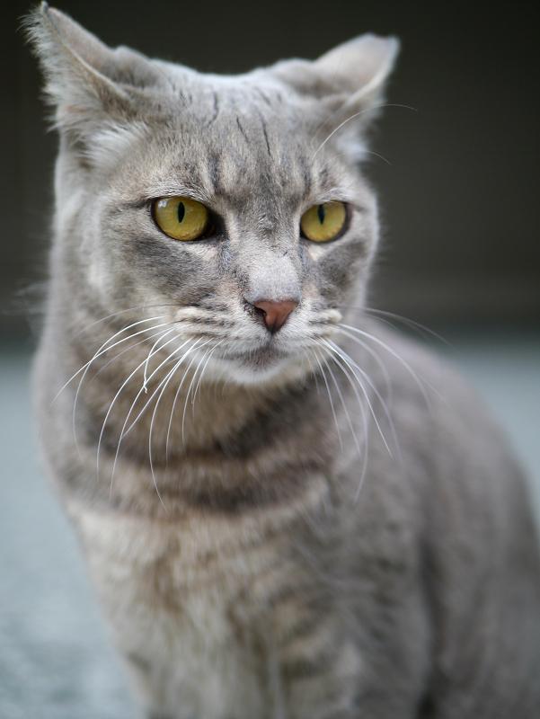 不愉快顔のグレー猫3
