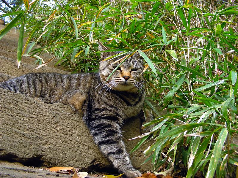 古い階段とキジトラ猫1