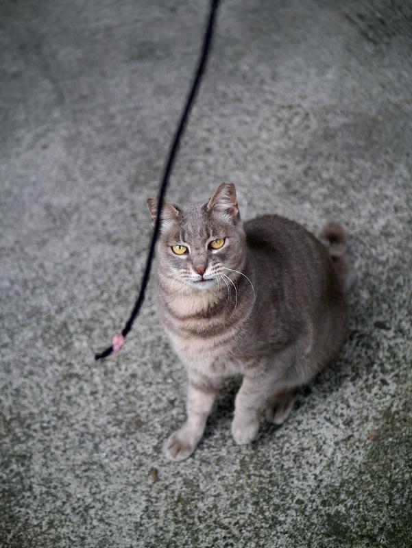 ゴム紐に興奮するグレー猫1
