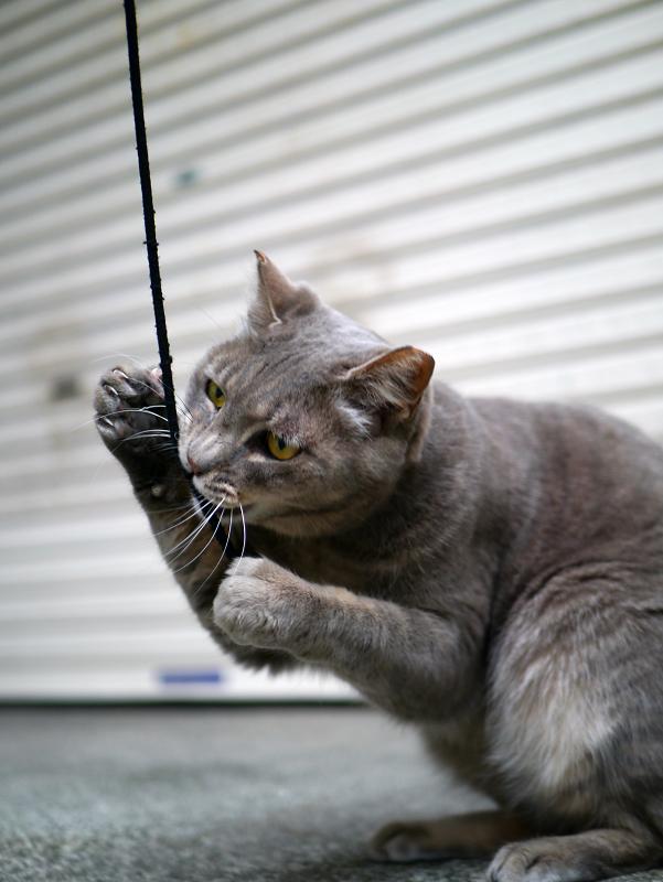 ゴム紐に興奮するグレー猫3