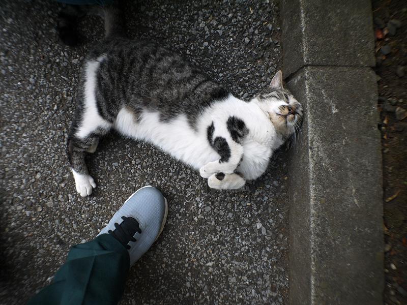 縁石の前でクネクネするキジ白猫2