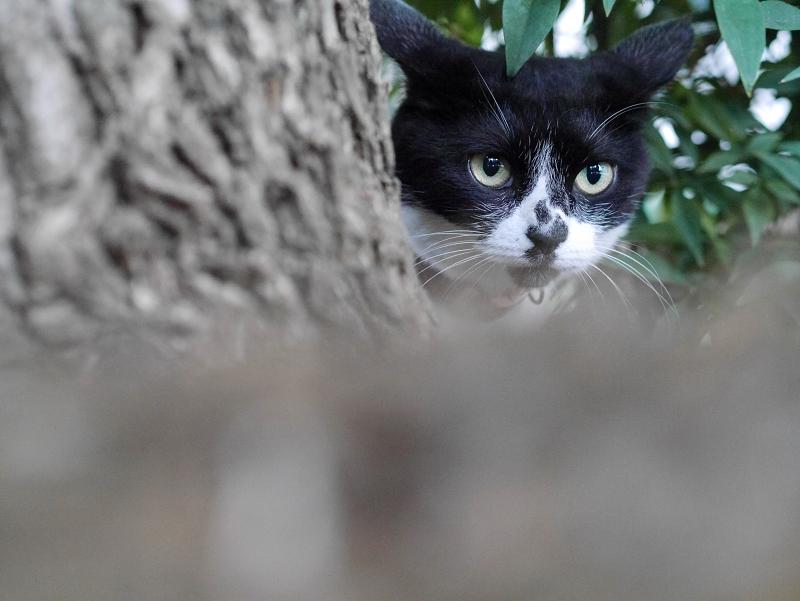 クスノキと白黒猫1