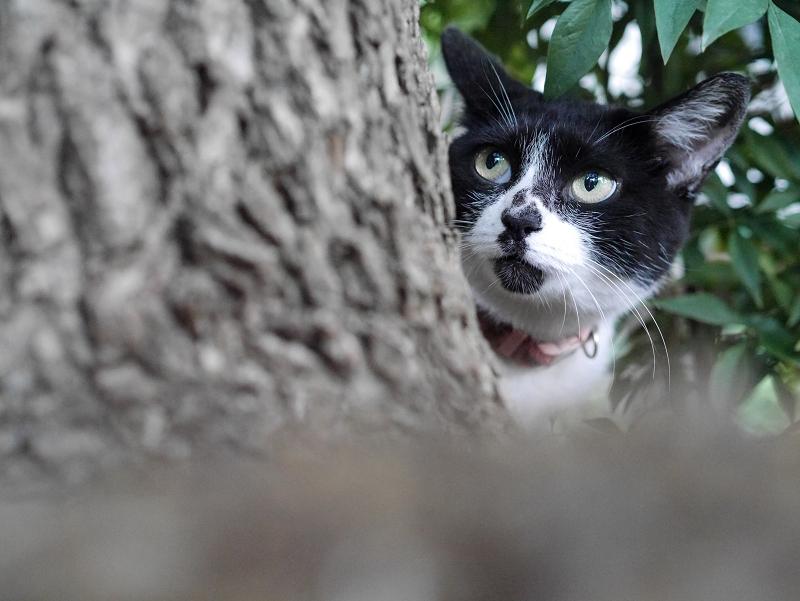 クスノキと白黒猫2