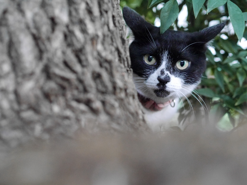 クスノキと白黒猫3