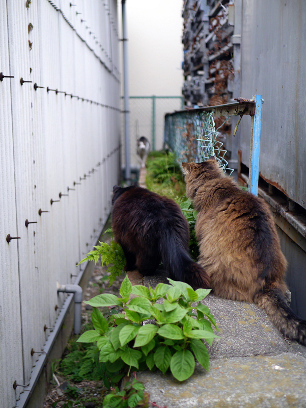 ゴージャス毛並みの2匹の猫1