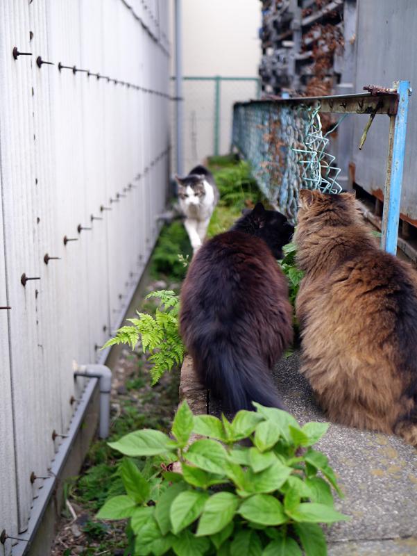 ゴージャス毛並みの2匹の猫2