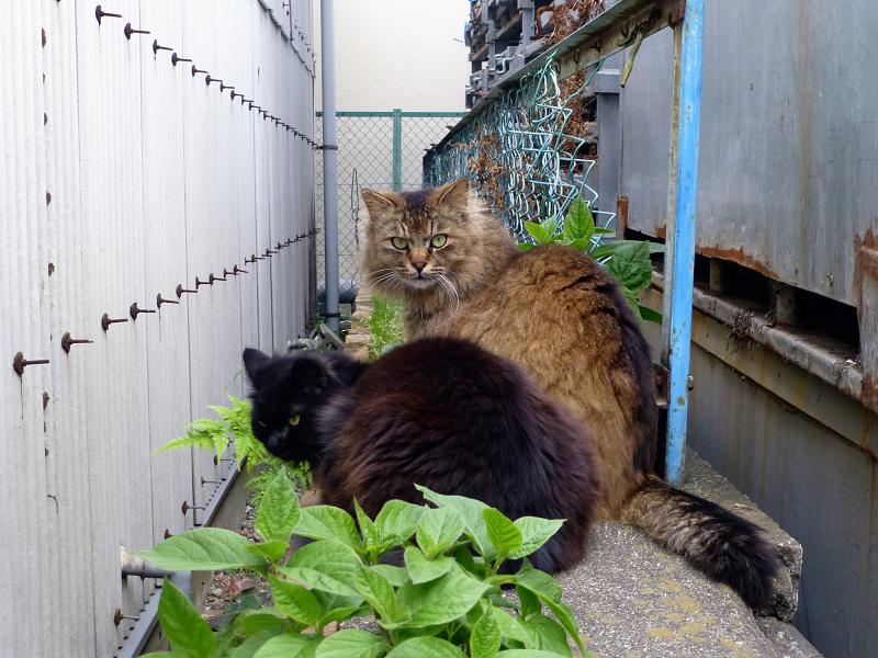 ゴージャス毛並みの2匹の猫3