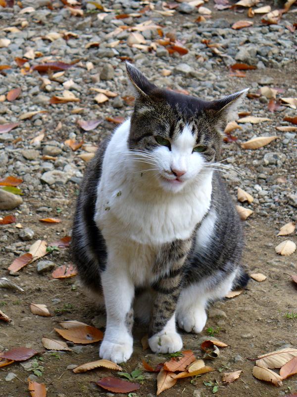 仰向けキジ白猫3