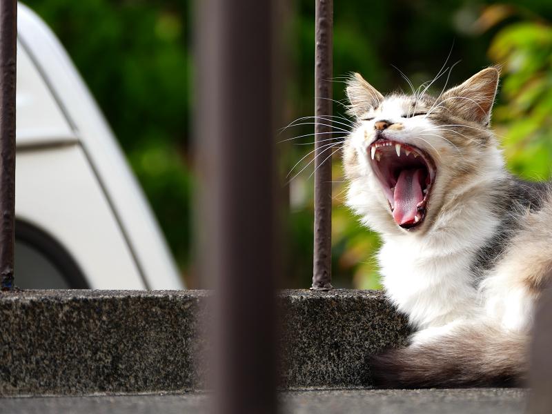踊り場であくびする毛長の猫3
