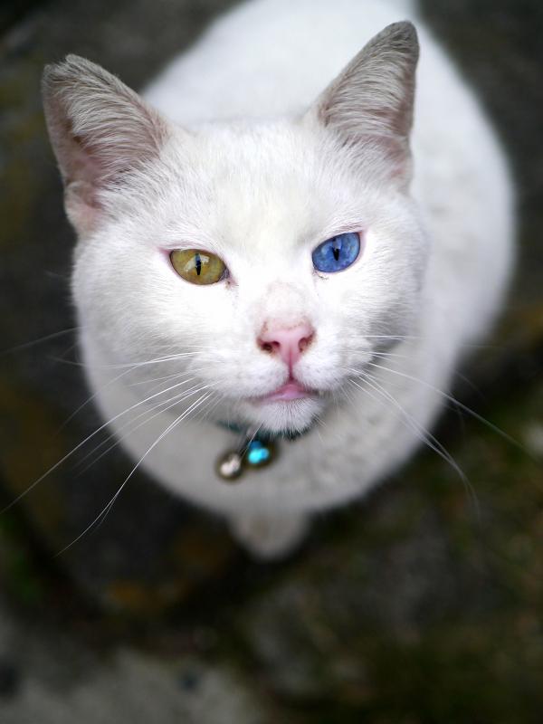 オッドアイ柄の鈴をかけている白猫1