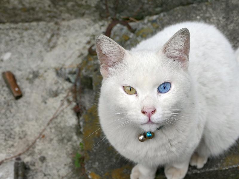 オッドアイ柄の鈴をかけている白猫2