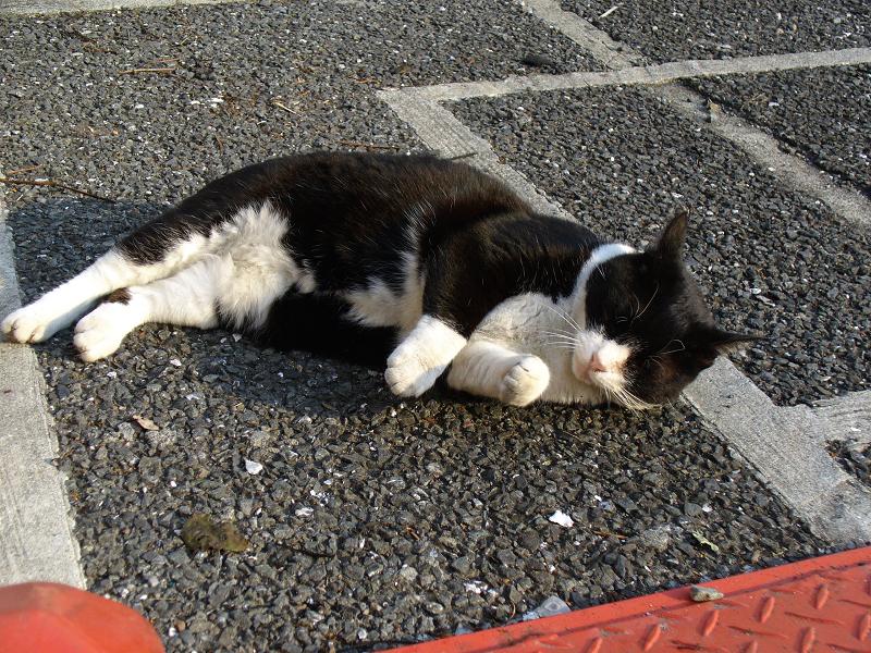 駐車場の黒白猫3