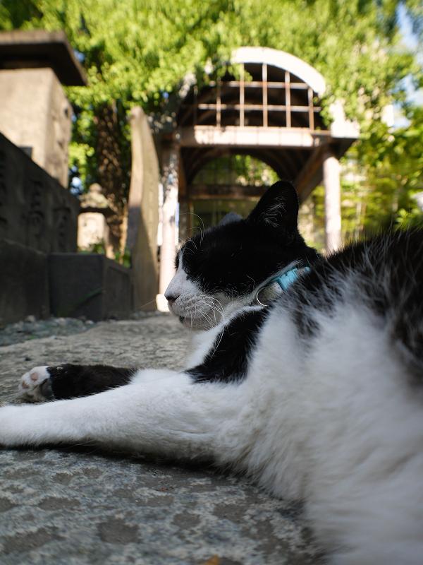 お社参道で寝ている黒白猫3