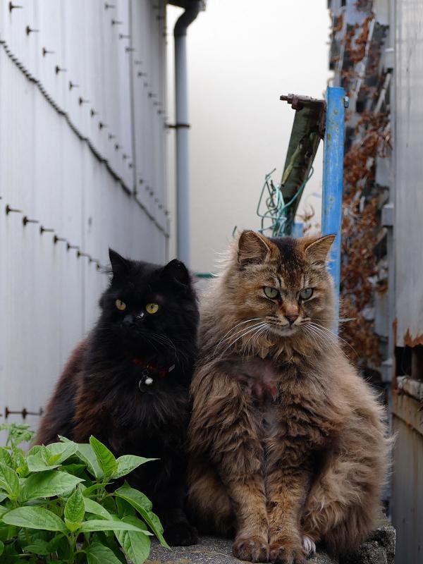 ゴージャス系な2匹の猫の視線1