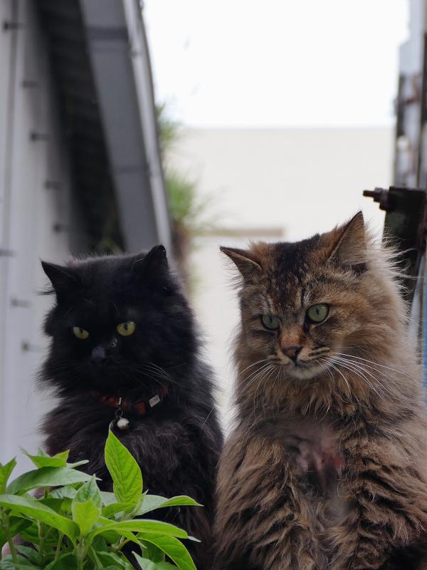 ゴージャス系な2匹の猫の視線2
