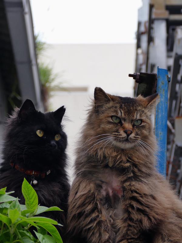 ゴージャス系な2匹の猫の視線3