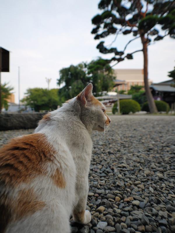 遠くを見ている茶白猫