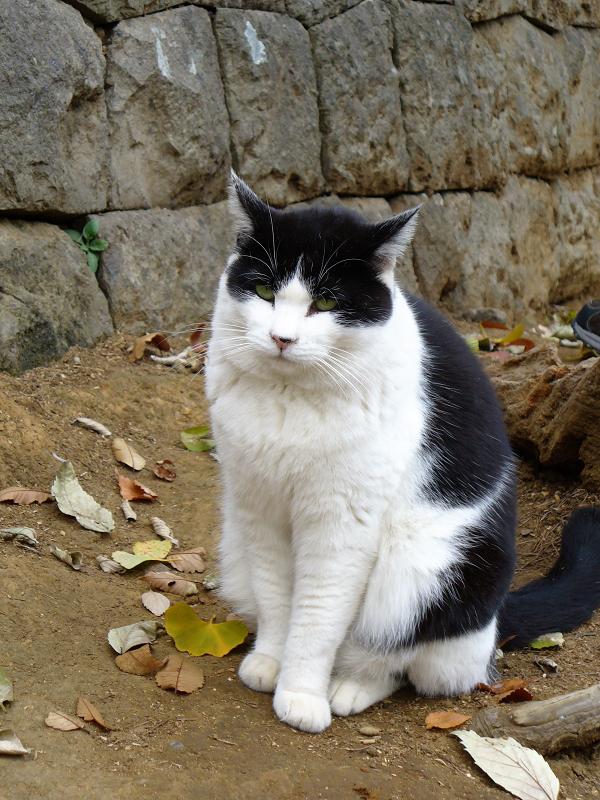 参道石垣の黒白猫1