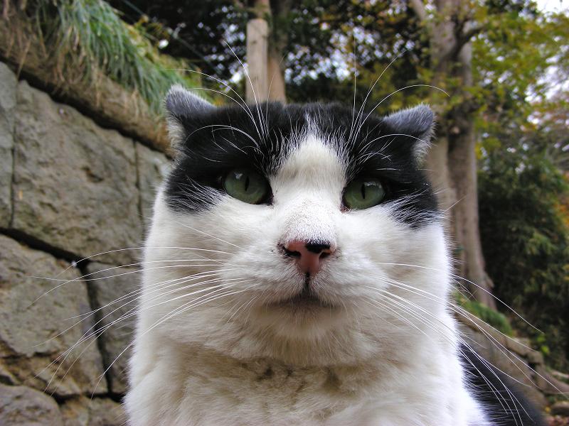 参道石垣の黒白猫2