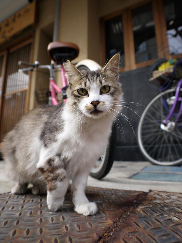 お店の前の毛長猫1