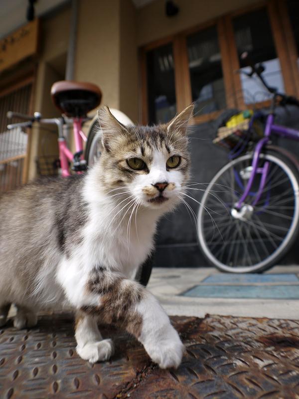お店の前の毛長猫3