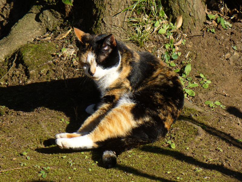 大樹の根っこに座ってる三毛猫1