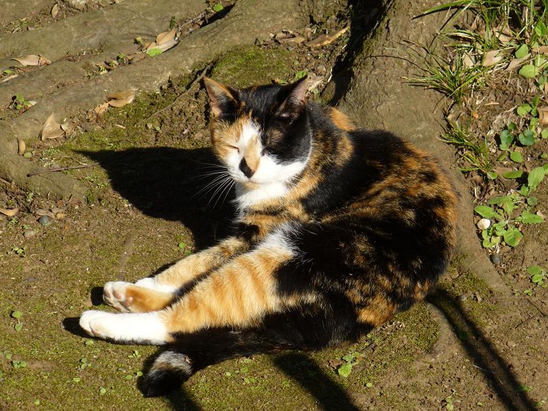 大樹の根っこに座ってる三毛猫2