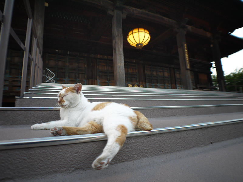 本堂階段と茶白猫1
