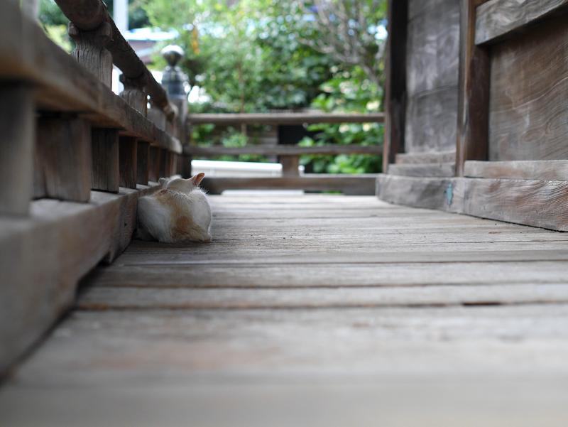 古堂濡れ縁の白茶猫